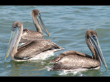 Three Pelicans by jeremy_depew, Photography->Birds gallery