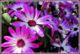 Just some African Daisies by trixxie17, photography->flowers gallery