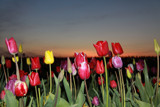 Tulips and Sunsets by auroraobers, photography->flowers gallery