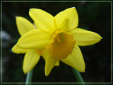 Daffodil Delight by hdwillems, Photography->Flowers gallery
