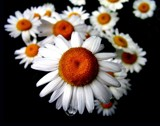 Daisy Drip by tee, Photography->Flowers gallery