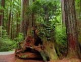 Ancient Redwood Trunk by busybottle, photography->landscape gallery