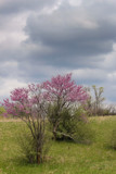 Redbud Drama by Pistos, photography->flowers gallery