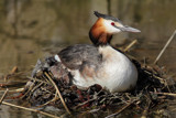 Great Nested Grebe by Paul_Gerritsen, Photography->Birds gallery