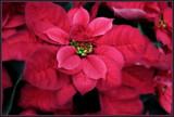 Deep Rose Poinsettia by trixxie17, holidays->christmas gallery