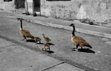 Family Stroll by sitagirl02, photography->birds gallery