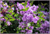 Dwarf Lilac by trixxie17, photography->flowers gallery