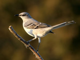 Mockingbird by egggray, Photography->Birds gallery