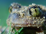 Eastern Spadefoot Toad #2 by loganjw, Photography->Reptiles/amphibians gallery