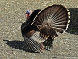 Turkey by GIGIBL, photography->birds gallery