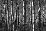 Aspen by Silvanus, photography->landscape gallery