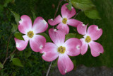 Spring Dogwoods are showing their colors by ted3020, photography->flowers gallery