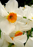 Drowsing Daffodils by CanoeGuru, Photography->Flowers gallery