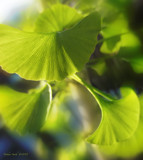 Gingko by nmsmith, photography->nature gallery