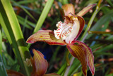 Cymbidiums Are Blooming by flanno2610, Photography->Flowers gallery