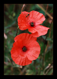 For Mark by JQ, Photography->Flowers gallery