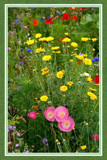 Summer Wildflowers 05 by corngrowth, Photography->Flowers gallery