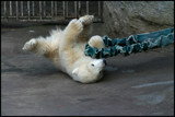 Little Polar Bear by mia04, Photography->Animals gallery