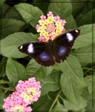 Butterfly Ten by Jimbobedsel, Photography->Butterflies gallery
