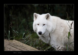 White by kodo34, Photography->Animals gallery