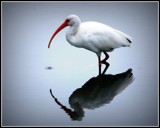 Ibis by merrygeorge28, photography->birds gallery