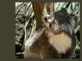 Koala by LynEve, Photography->Animals gallery