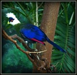 White-Crested Turaco by trixxie17, photography->birds gallery