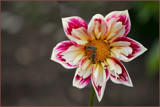 Dahlia and Visitors by Ramad, photography->flowers gallery