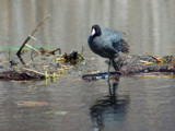 American Coot by gerryp, Photography->Birds gallery
