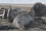 All is Right in the World of Elephant Seals by garrettparkinson, photography->animals gallery