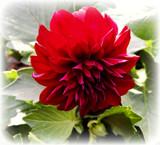 Darkly Dahlia by trixxie17, photography->flowers gallery