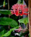 Hanging Red Flower by mesmerized, photography->flowers gallery