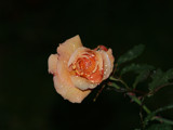 October Rose by snhagood, Photography->Flowers gallery