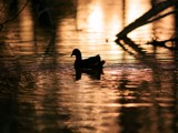 Sundown Duck. by trisbert, Photography->Birds gallery