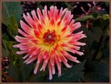 Carmen Sangria Dahlia by trixxie17, photography->flowers gallery