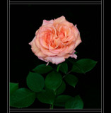 Rose Blush by verenabloo, Photography->Flowers gallery