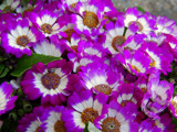Florist's Cineraria by trixxie17, photography->flowers gallery