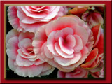Daze of Wine & Roses by phasmid, Photography->Flowers gallery