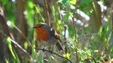 Here's Robin, Where's Batman? by braces, Photography->Birds gallery