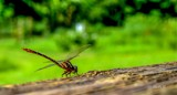 Dragon Fly by carlosf_m, photography->animals gallery