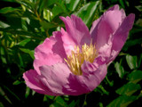 ~Pinkish-Purple Peony~ by mimi, Photography->Flowers gallery