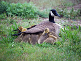 Goose And Goslings by gerryp, Photography->Birds gallery