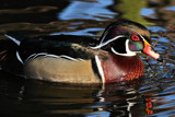 It's a duck by Paul_Gerritsen, Photography->Birds gallery
