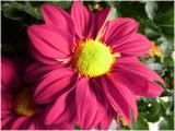 Daisy Mum by trixxie17, photography->flowers gallery