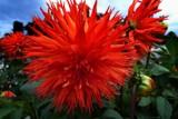 Spiky Dahlias by LynEve, photography->flowers gallery