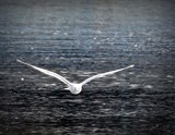 SEAGULL by picardroe, photography->birds gallery