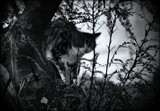 B & W Hunting by LynEve, photography->pets gallery