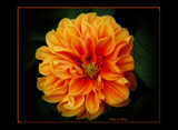Dahlia In Bloom by tigger3, Photography->Flowers gallery