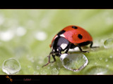 ladybird by kodo34, Photography->Insects/Spiders gallery