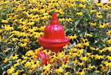 Hydrant in a sea of Black Eyed Susans by swjeepster, Photography->Flowers gallery